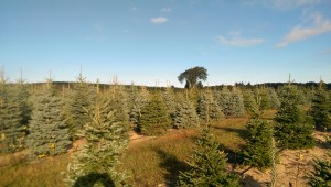 Blue Spruce and Fraser Fir